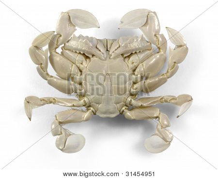 Moon Crab In White Back