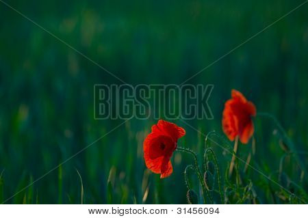Picturesque Poppies