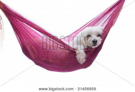 Just Hanging Around - Puppy Dog In Hammock