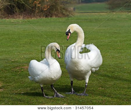 Mute Swans Mated Pair