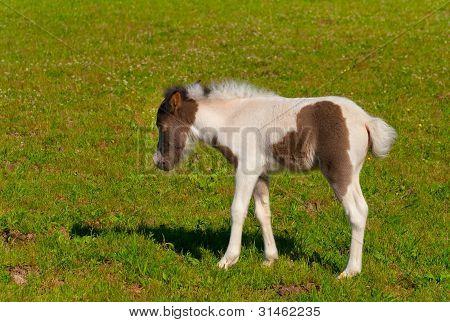 Pony Fohlen