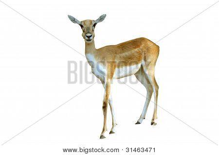 female back buck deer in chiang mai night safari