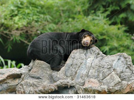 sun bear in chiang mai night safari