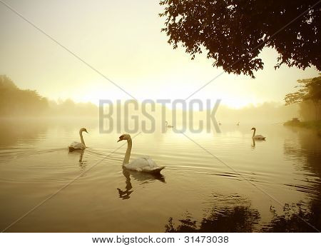 swan lake in winter morning