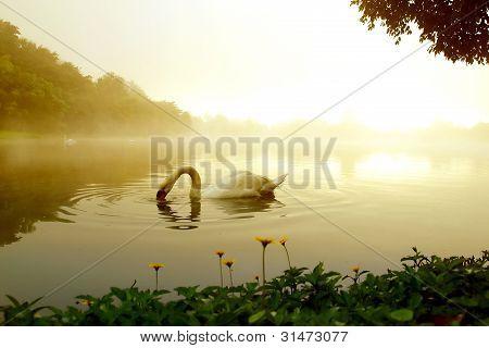 swan lake in winter morning