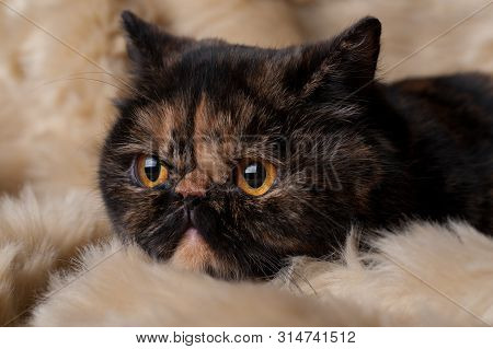 poster of Persian Cat Of Turtle Color Lies On A Fur Background, Portrait Of A Brown Color Cat