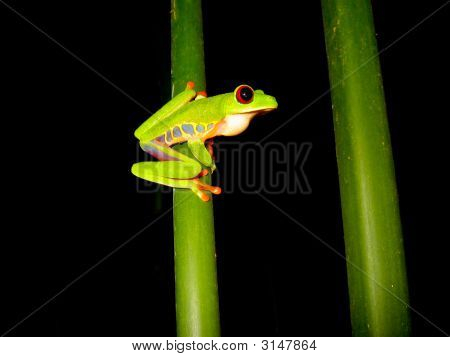 Red Eyed Tree Frog Sitting On A Branch