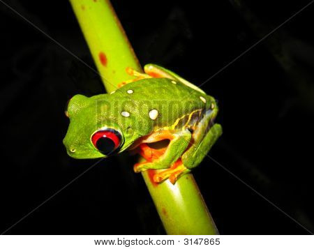 red eyed tree frog with white spots on