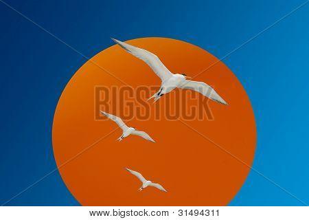 Royal Terns In Flight & Sun