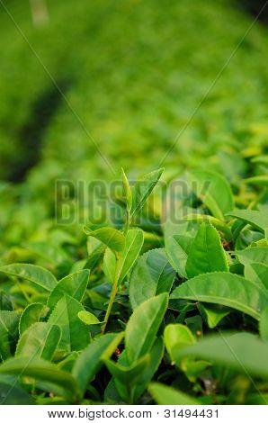 Grüner Tee Knospe und Blätter