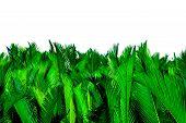 Nypa Fruticans Wurmb (nypa, Atap Palm, Nipa Palm, Mangrove Palm). Green Leaves Of Palm Isolated On W poster