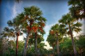 Sugar Palm Tree Nature View With Rainbow On The Sky In Rural Area In Thailand. Hdr. poster