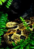pic of timber rattlesnake  - A timber rattlesnake  - JPG