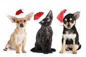 stock photo of chiwawa  - Three friends in Santa caps on a white background - JPG