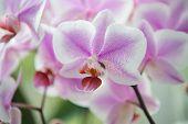 House Plants. Orchids Soft Gentle Tender Blossom Close Up. Orchids Flower Pink Violet Bloom. Phalaen poster
