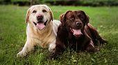 Cute Labrador Retriever Dogs On Green Grass In Summer Park poster