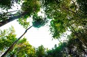 View Of Tall And Tall Trees In The Tropical Forests Of Thailand poster