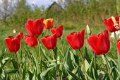 stock photo of rebs  - Reb tulips in a countryside in Moscow region - JPG