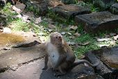 A Cute Furry Monkey Sits On A Stone Block. Pregnant Monkey. The Nipples Of The Monkey. Animals Of So poster