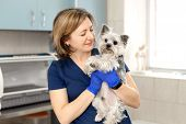 Beautiful Brunette Doctor Vet Examines A Small Cute Dog Breed Yorkshire Terrier At A Veterinary Clin poster