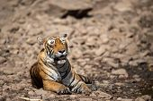 Royal Bengal Female Tiger Resting Near Water Body On White Rocks. Tired, Weak And Hungry Tiger From  poster