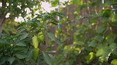 Green Pepper In Vegetable Greenery Garden. Green Pepper Grows In The Garden poster