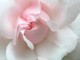 picture of pink rose  - pink rose with drop - JPG