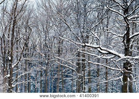 Oak Branches Under Snow
