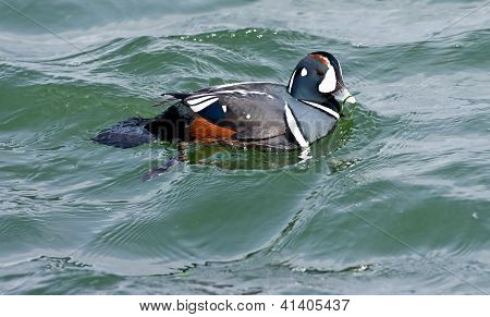 Harlequin Duck Swimming