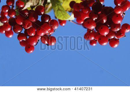 Viburnum Branch