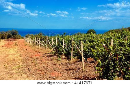 Vineyard Near Sea(Crimea , Ukraine)
