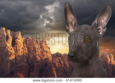 Mexican Hairless Xoloitzcuintle Dog