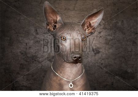 Portrait Of Mexican Hairless Dog