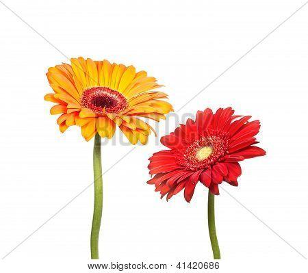 Two Flowers Of  Gerbera