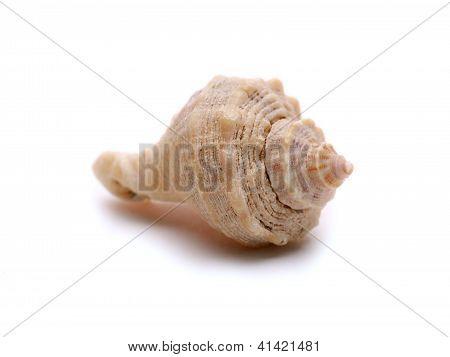 Single Seashell Macro Isolated