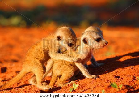 Meerkat or Suricate Pups
