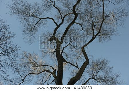 Spooky  Elm tree with no leaves against blue sky
