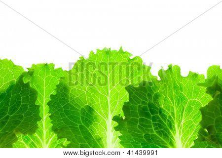 Fresh Lettuce Border /  leaves isolated on white background / macro