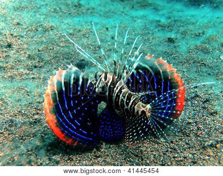 Gurnard lionfish (Parapterois hetururus)