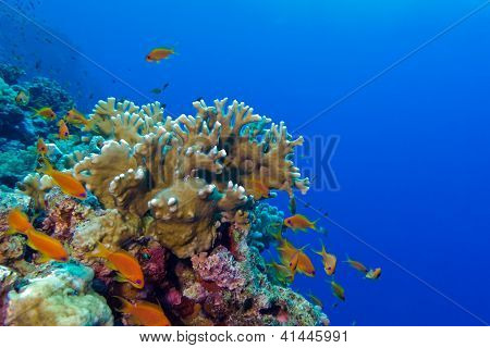 coral reef with fire coral and exotic fishes anthias at the bottom of tropical sea