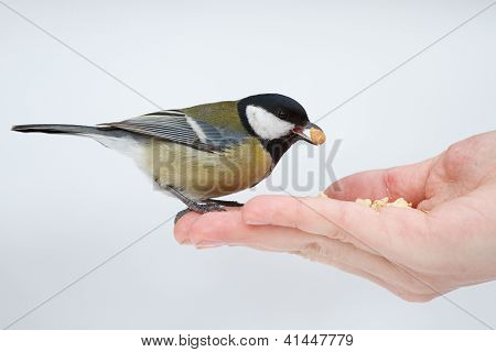 Tit on the hand