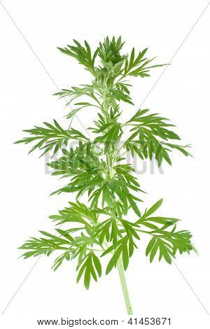 Wormwood is isolated on  white background