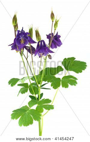 Blooming aquilegia isolated on white