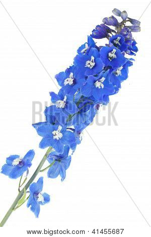 Blooming blue delphinium