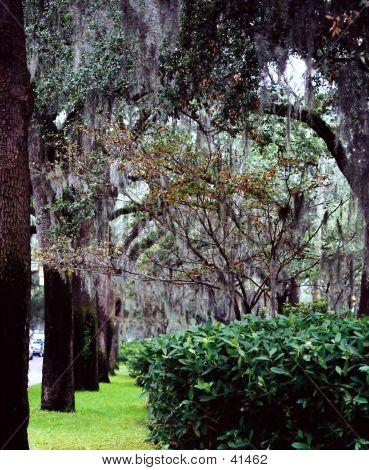 Savannah Moss