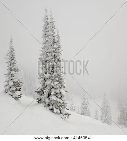 Árvore de abeto, coberta de neve.