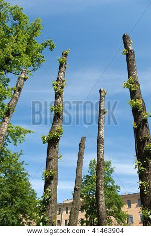 Clipped Poplar Trunks