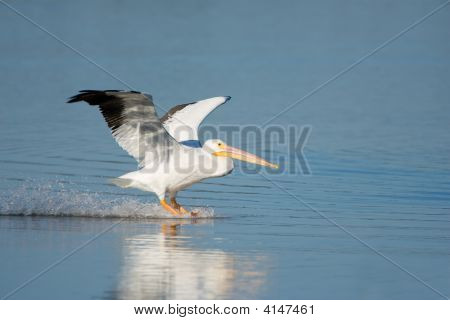 A White Pelican Touching Down In A Pond