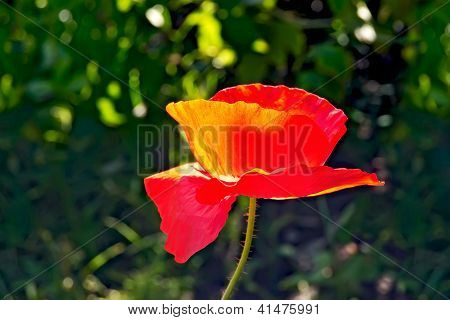 Poppies red on a background of grass
