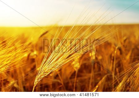 sunset over golden field